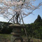 お店の桜が満開になりました。