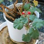 赤い花と、赤系の洋型墓石(花彫刻)をご紹介します。